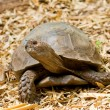 Stock Photo: Turtle standing on ground