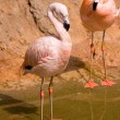Stock Photo: Flamingo in water