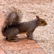 Stockfoto: Squirrel ready to run
