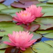 Stock Photo: Pink water lily
