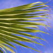 Palm brunch over blue sky — Stock Photo #9208990