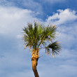 Palm tree in blue sky — Stock Photo