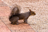 Squirrel ready to run — Stock Photo