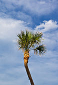 Palm tree in blue sky — Stock Photo