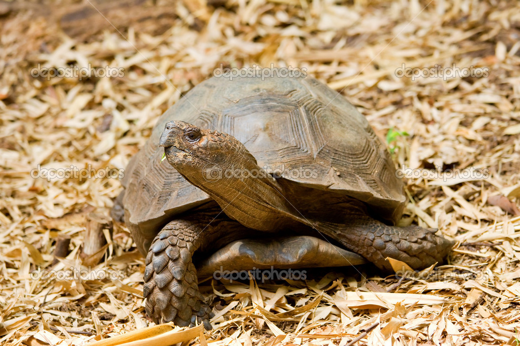A turtle standing on the ground. Atlanta zoo, Georgua, USA — Stock Photo #9201790