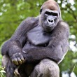 Close-up of a big male gorilla — Stock Photo #9225641