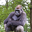 Male silverback gorilla — Stock Photo #9225883