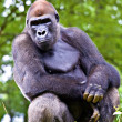 Close-up of a big male gorilla — Stock Photo #9226413