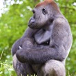 Close-up of a big male gorilla — Stock Photo