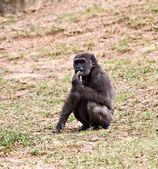 Chimpanzee — Stock Photo