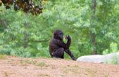 African chimpanzee — Stock Photo