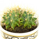 Cactus background — Stock Photo