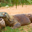 Stock Photo: Monitor lizard