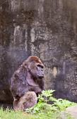 Big male gorilla — Stock Photo