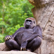 Big male gorilla — Stock Photo #9246575