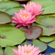 Closeup view of water lily — Stock Photo