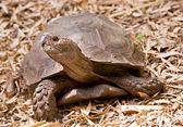 Riesenschildkröte — Stockfoto