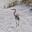 Blue Heron - Stock Photo