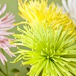 Beautiful chrysanthemum close up background — Stock Photo