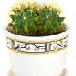 Potted cactus — Stock Photo