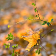 Autumn leaves, very shallow focus — Stock Photo #9296359