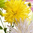 Chrysanthemum — Stock Photo #9318824