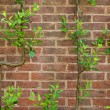 Vintage brick wall background with green leaves — Stock Photo