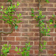Vintage brick wall background with green leaves — Stock Photo #9323076