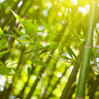 Stock Photo: Bamboo forest with sunlight