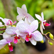 Orchids — Stock Photo #9336165