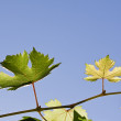Stock Photo: Grape vine leaves