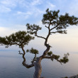 Lonely juniper tree at sunset - Stock Photo