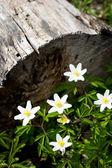 Fin trä anemoner i naturen — Stockfoto