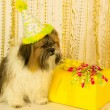 图库照片: Dog Looks at Birthday Present