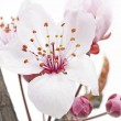 Stock Photo: Cherry Plum or MyrobalBlossoms