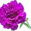 Carnation flower (Dianthus) on white background — Stock Photo