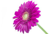 Single pink Gerbera flower on white — Stock Photo