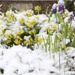 Yellow Whitlowgrass (Draba Aizoides) in snow - Stock Photo