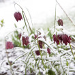 Checkered Lily (Fritillaria meleagris) in snow - Stock Photo