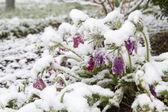 Blooming Pasqueflower (Pulsatilla vulgaris) in snow — Stock fotografie