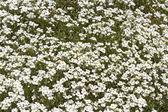 White arabis caucasica flowers — Stock Photo