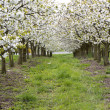 Blossoming cherry trees — Stock Photo