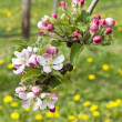 Apple blossoms — Stock fotografie #10407337