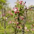 Apple blossoms — Stock Photo #10407348