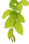 Beech tree leaves (Fagus) in spring — Stock Photo