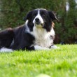 Border Collie outside in the garden — Stock Photo