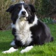 Stock Photo: Border Collie outside in the garden