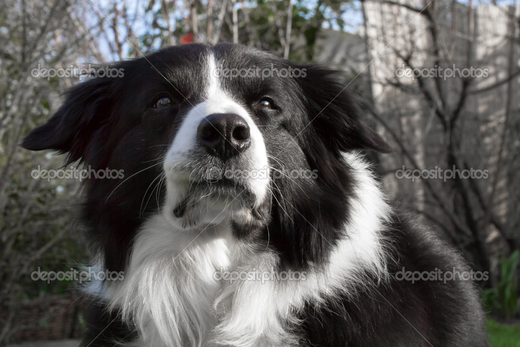 Border Collie outside in the garden, closeup  Stock Photo #9160766