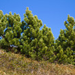 Stock Photo: Branch of Pinus mugo against blue sky in mountains, Bavaria