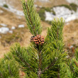 Branch of Pinus mugo against blue sky in the mountains, Bavaria — Stock Photo